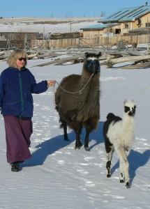 llama trekking, walking with llamas
