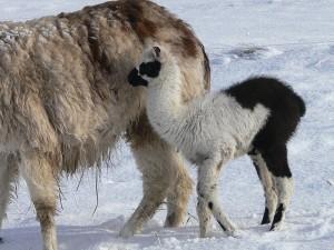 llama with pneumonia, llama with frostbite