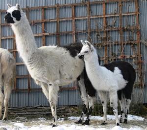natural healing for llamas