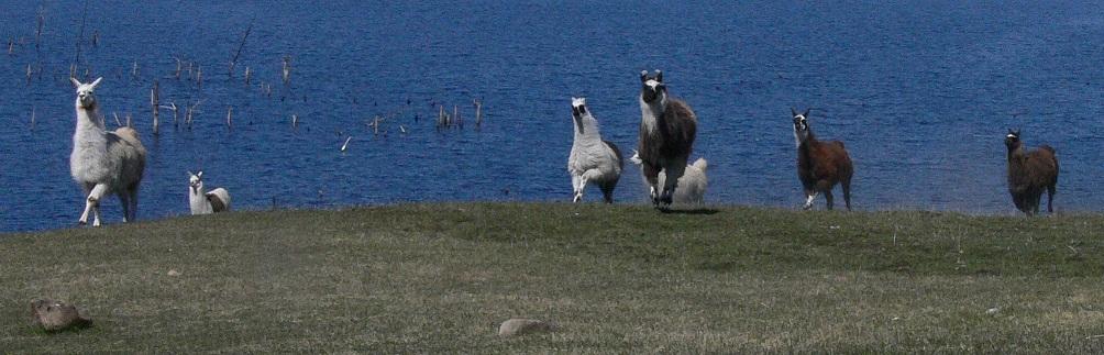 running llama, llama with broken leg