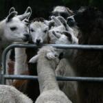 alapaca with llamas