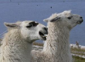 llama teeth, aggressive llama