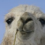 working with llamas