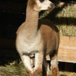 alpaca rescue center