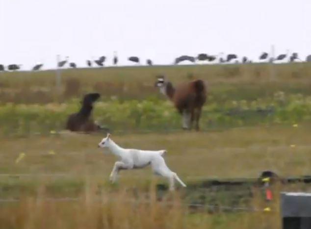 Fun & Frolics at The Llama Sanctuary