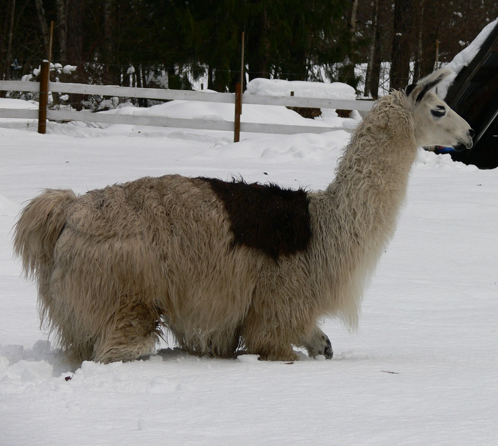 Llamas in Deep Snow