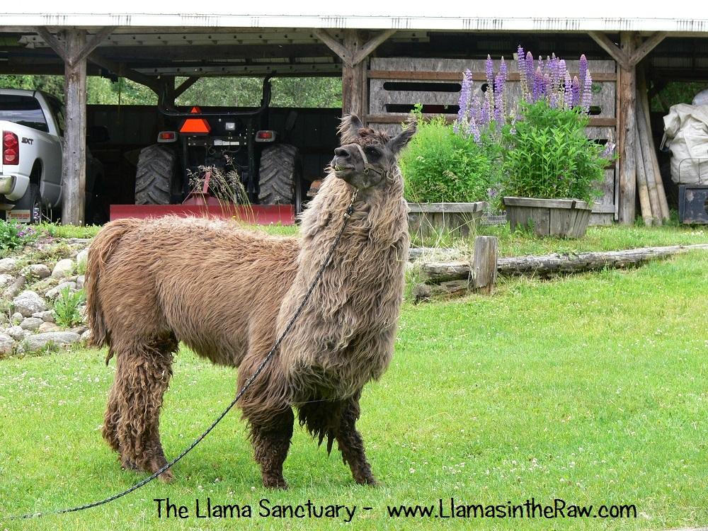 llama tiva grazing on tether