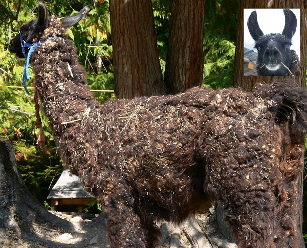 llama encrusted with burdock