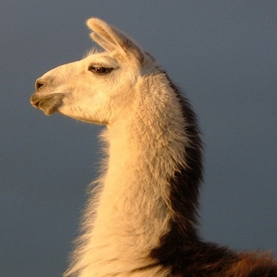 best picture of a noble llama at The Llama Sanctuary