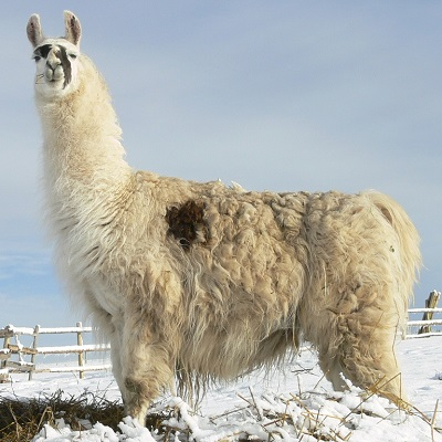 llama standing on mound of snow at The Llama Sanctuary