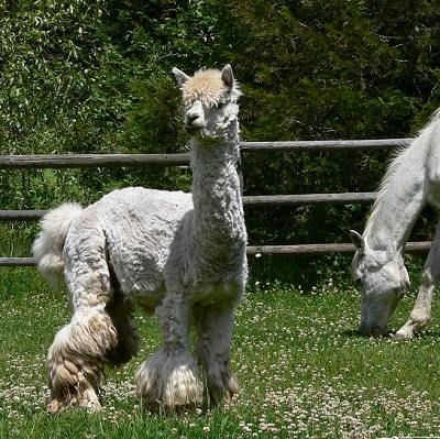 alpaca rescue at The Llama Sanctuary