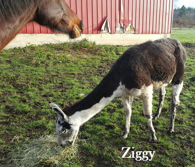 Ziggy llama in Langley British Columbia looking for a home