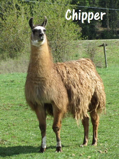 Chipper another llama looking for a home 2016