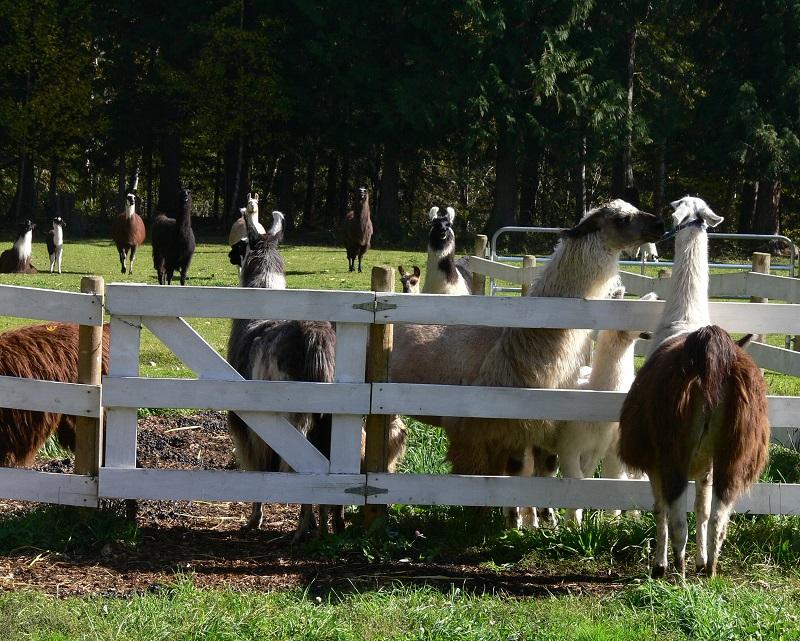 helping llamas in need in Canada