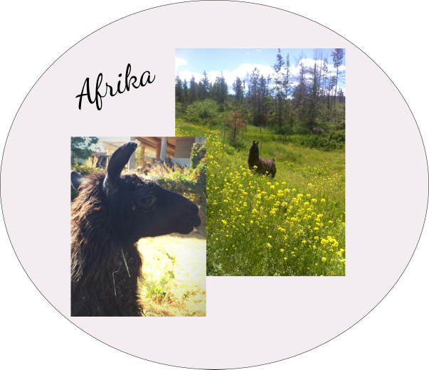 helping llamas and alpacas in need